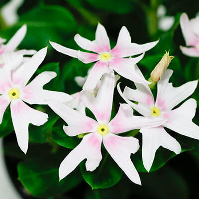 Catharanthus_Soiree_Crown_Pink_th