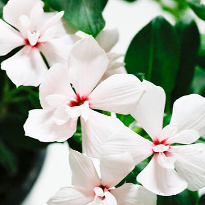 Catharanthus_Soiree_Double_White_th