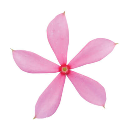 Catharanthus_Soiree_Kawaii_Pink_Peppermint